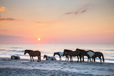 feral horses on Assateague beach in a early morning summer sunrise